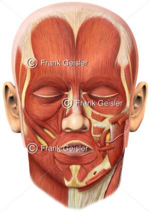 Anatomie Muskeln der Gesichtsmuskulatur, Gesichtsmuskeln, mimische Muskulatur - Medical Pictures