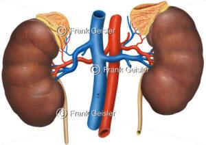 Anatomie Nebennieren und Blutgefäße (Aorta, Hohlvene) - Medical Pictures