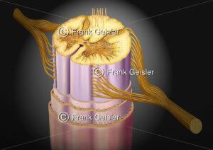 Anatomie Nervensystem, Rückenmark (Medulla spinalis) - Medical Pictures