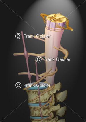 Anatomie Nervensystem, Rückenmark (Medulla spinalis) mit Rückenmarksnerven und Wirbel - Medical Pictures
