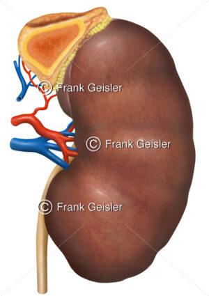Anatomie Niere mit Nebenniere (angeschnitten) - Medical Pictures