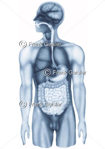 Anatomie Organe Mensch, Körper mit innere Organe beim Mann - Medical Pictures