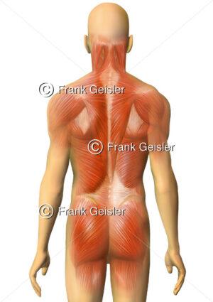 Anatomie Rückenmuskeln und Gesäßmuskulatur des Menschen - Medical Pictures