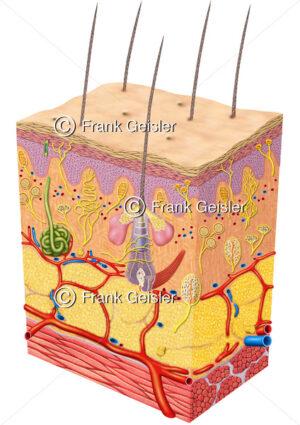 Anatomie Sinnesorgan Haut mit Sinneszellen, Nerven mit Hautrezeptoren - Medical Pictures