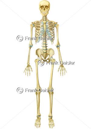 Anatomie Skelett des Menschen, Knochen und Körper Stützgerüst - Medical Pictures