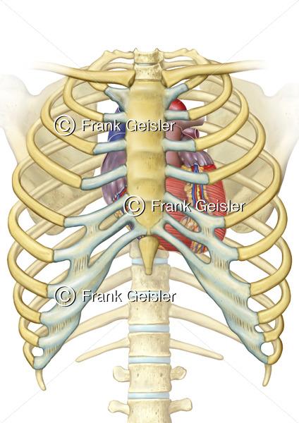 Anatomie Thorax, Skelett und Lage Herz im Brustkorb - Medical Pictures