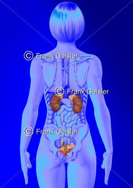 Anatomie Urogenitaltrakt der Frau, innere Organe mit Nieren, Harnleiter, Harnblase und Uterus mit Tube und Ovar - Medical Pictures