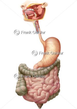 Anatomie Verdauungstrakt des Menschen, Verdauung im Verdauungsapparat - Medical Pictures