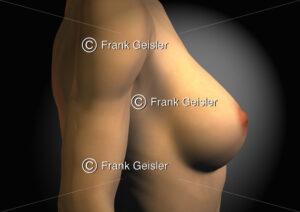 Anatomie der weiblichen Brust, Mamma, Brustdrüse - Medical Pictures