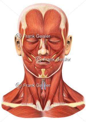 Anatomie mimische Muskulatur, Gesichtsmuskeln und Hals des Menschen - Medical Pictures