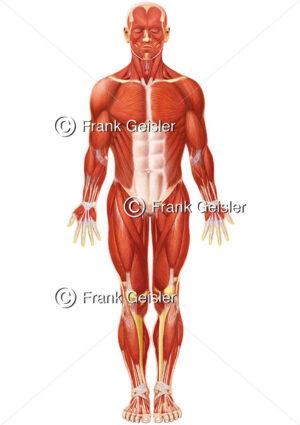 Anatomie oberflächliche Muskeln des Menschen, Kopfmuskeln, Halsmuskeln, Brustmuskulatur, Bauchmuskeln und Muskulatur der - Medical Pictures