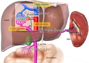 Anatomie und Physiologie der Leber, Blutkreislauf mit Pfortader - Medical Pictures