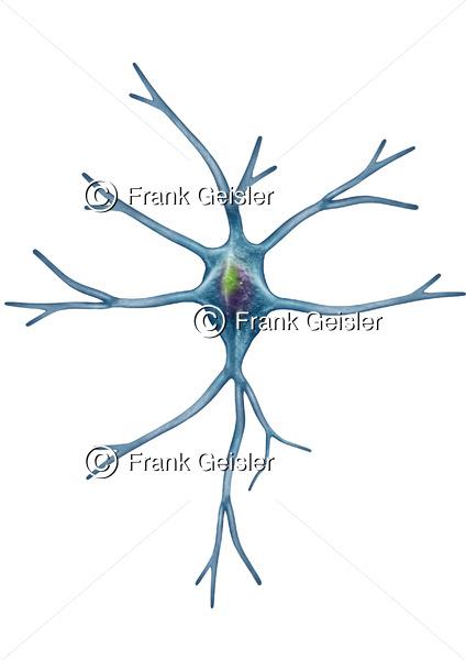 Astrozyt Astrum Astroglia, Gliazelle Neuroglia oder Spinnenzelle im ZNS - Medical Pictures