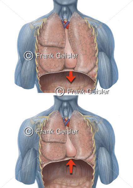 Atmung, Bauchatmung (Abdominalatmung) oder Zwerchfellatmung (Diaphragmalatmung) - Medical Pictures