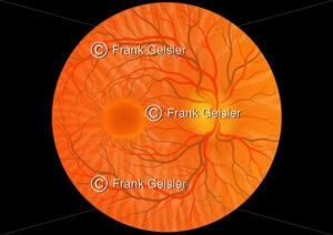 Augenhintergrund (Fundus oculi) beim gesunden Augapfel (Bulbus oculi) - Medical Pictures