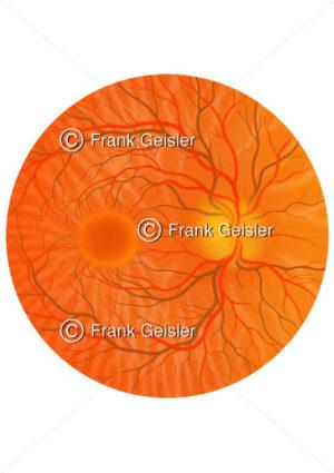 Augenhintergrund (Fundus oculi) im Augapfel - Medical Pictures