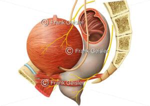 Beckeneingeweide mit Muskulatur Harnblase und Beckenboden - Medical Pictures