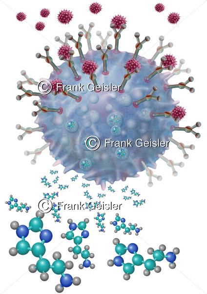 Bildung Histamin im Granula einer Mastzelle - Medical Pictures
