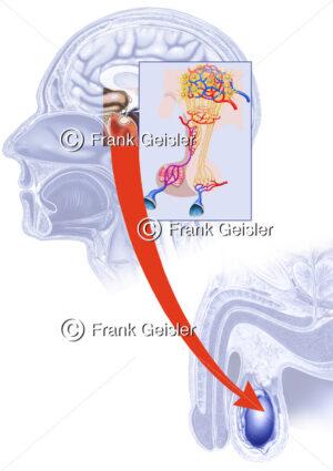 Bildung Hormon Testosteron, Ausschüttung in Hypophyse - Medical Pictures