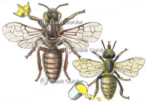 Biologie Bienen, Heilung mit Honig, Bienenhonig - Medical Pictures
