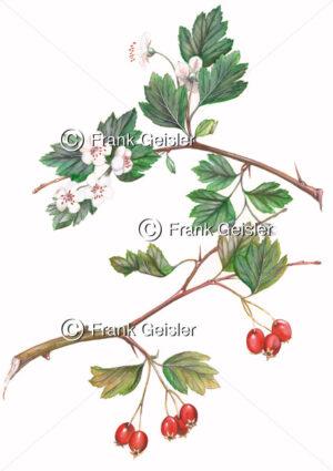 Biologie Heilpflanze Weißdorn - Medical Pictures