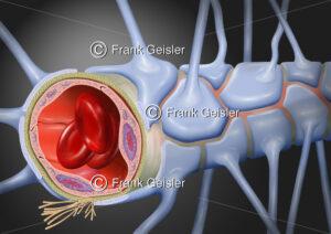 Blut-Hirn-Schranke, Blut-Liqour-Schranke im Gehirn - Medical Pictures
