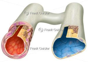 Blutgefäße, Histologie Arteriolen und Venolen mit Kapillare - Medical Pictures