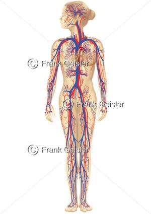 Blutkreislauf, Blutzirkulation im Gefäßsystem der Frau - Medical Pictures