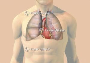 Brustkorb mit paariger Lunge und Herz durchscheinend - Medical Pictures