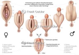 Embryogenese, Entwicklung der äußeren Geschlechtsorgane in der Embryonalphase - Medical Pictures