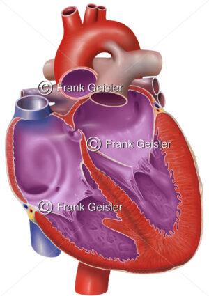 Embryologie, Anatomie Herz eines Fetus, fetaler Blutfluss - Medical Pictures