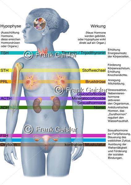 Endokrinologie Wirkung der Hormone im Körper der Frau, Hormone der Hirnanhangdrüse Glandula pituitari - Medical Pictures