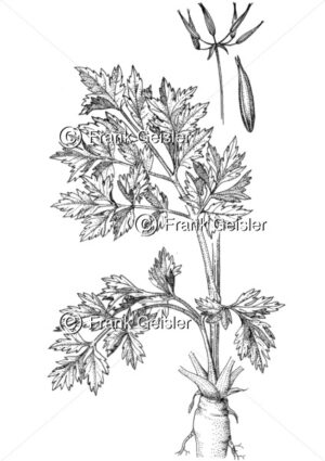 Gewürzpflanze und Heilpflanze Anthriscus cerefolium, Echter Kerbel für Immunsystem - Medical Pictures