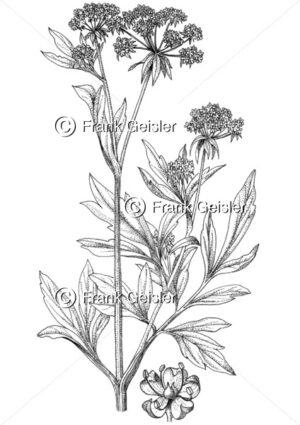 Gewürzpflanze und Heilpflanze Levisticum officinale, Liebstöckel oder Maggikraut - Medical Pictures
