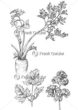 Gewürzpflanze und Heilpflanze Petroselinum crispum, Petersilie  oder Petergrün - Medical Pictures