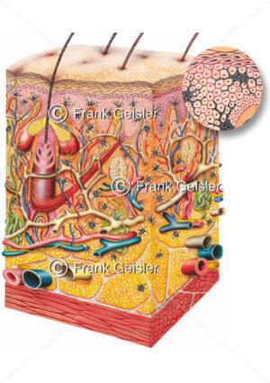 Hautausschnitt mit Melanozyten, Anzahl Pigmentzellen bei dunkler Haut - Medical Pictures