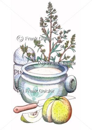 Heilpflanze und Gewürzpflanze Beifuß, Artemisia vulgaris - Medical Pictures