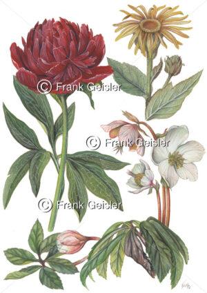 Heilpflanzen Pfingstrose, Alant und Christrose - Medical Pictures