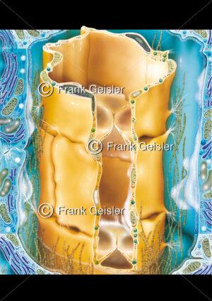 Histologie Lymphgefäß mit Taschenklappen - Medical Pictures