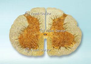 Histologie Rückenmark (Medulla spinalis), Lumbalmark (Pars lumbalis medullae spinalis) in der Wirbelsäule - Medical Pictures