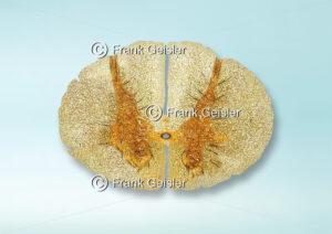 Histologie Rückenmark (Medulla spinalis), Thorakalmark (Pars thoracica) in der Wirbelsäule - Medical Pictures