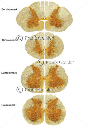 Histologie Zervikalmark (Pars cervicalis), Thorakalmark (Pars thoracica), Lumbalmark (Pars lumbalis) und Sakralmark (Par - Medical Pictures