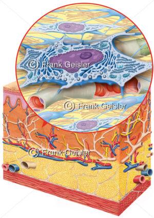 Histologie der Haut, Bindegewebe mit Fibrozyten und Fibroblast - Medical Pictures