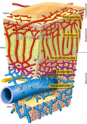 Histologie der Nebenniere (Glandula adrenali, Glandula suprarenalis) - Medical Pictures