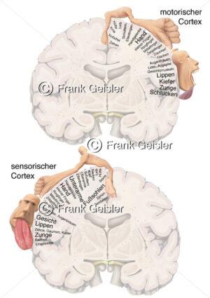 Homunculus, motorischer und sensorischer Cortex, Großhirn Telencephalon und Mittelhirn Mesencephalon - Medical Pictures