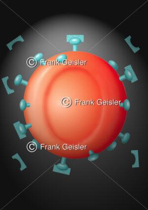 Infektion im Blut, Erythrozyt mit Antigene (Antikörper) bei Sepsis - Medical Pictures