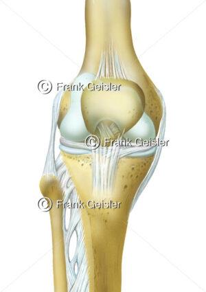 Kniegelenk mit Oberschenkelknochen (Femur), Kniescheibe (Patella) und Unterschenkelknochen - Medical Pictures