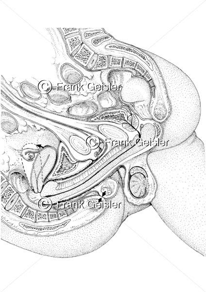 Kohabitation Mann und Frau, Sagittalschnitt während der Kopulation - Medical Pictures