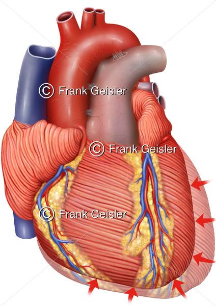 Kontraktion Herz, Herzkontraktion Herzmuskel Myokard bei Diastole - Medical Pictures