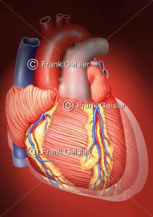 Kontraktion Herz, Myokard des Herzens mit Koronargefäße bei Herzkontraktion - Medical Pictures